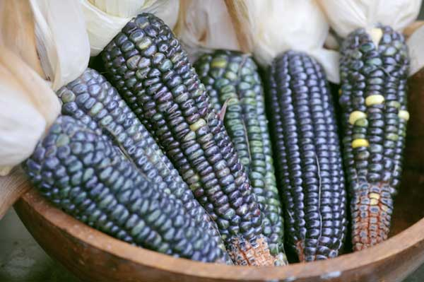 Want to reduce your BP and cholesterol, start eating blue maize